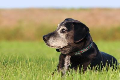 芝生で寛ぐ老犬の横顔