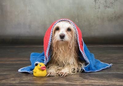 濡れたままタオルをかぶる犬