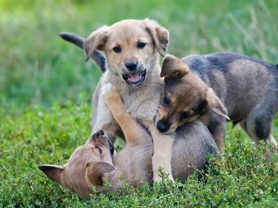 絡み合って遊んでいる3頭の子犬