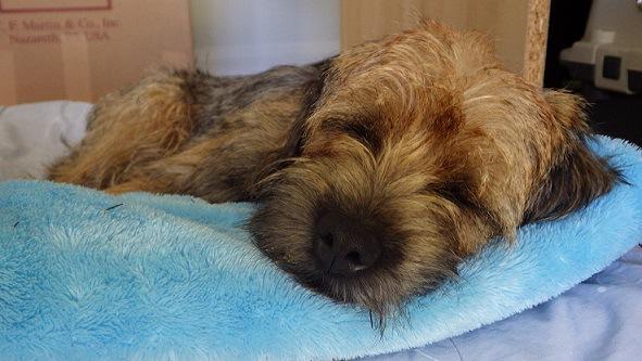 毛布の上で横になっている犬