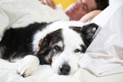 Image result for 犬 border collie 眠っている