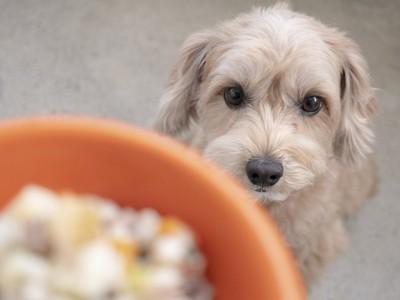 ご飯を見つめる犬
