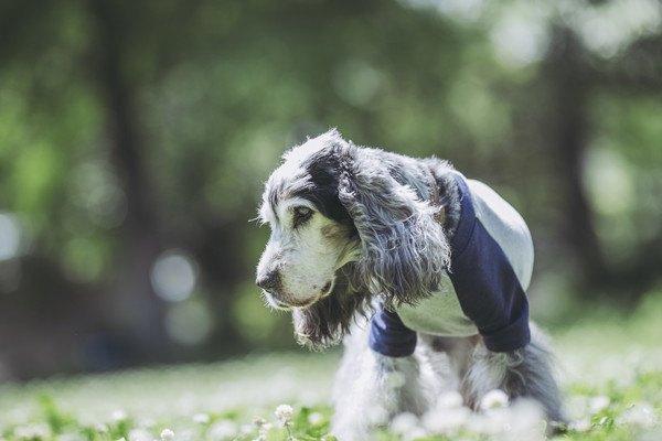 服を着たイングリッシュコッカースパニエルの老犬