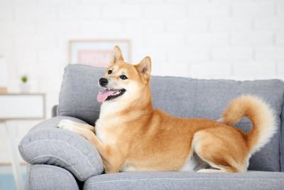 グレーのソファーに乗ってくつろぐ柴犬