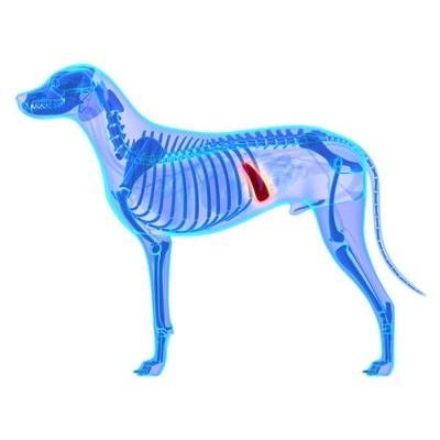 犬の臓器イメージ