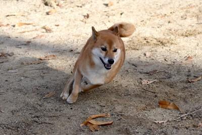 柴犬の猛ダッシュ
