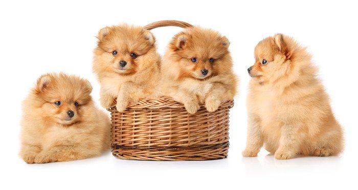 ポメラニアンの子犬4匹