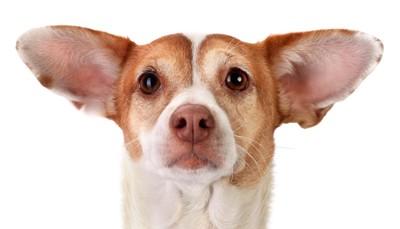大きな耳の犬の顔アップ