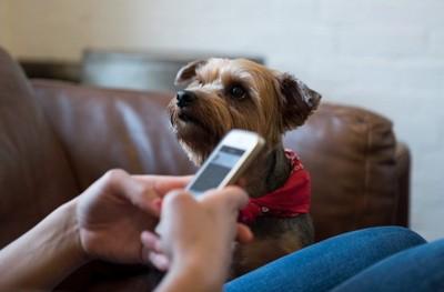 携帯をいじる飼い主を見つめる犬