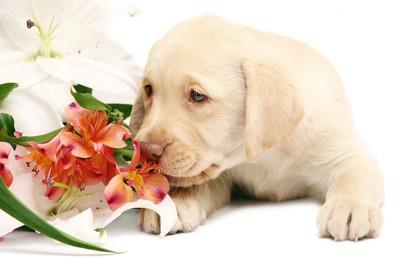 百合の花の匂いを嗅ぐ子犬