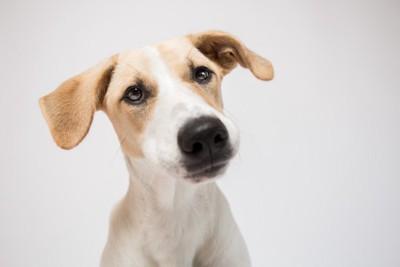 垂れ耳の細身な犬の顔のアップ、薄いグレーの背景