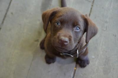 こちらを見つめる子犬