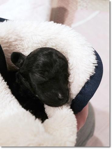 黒毛のトイプードルの赤ちゃん