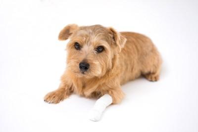 包帯を巻いている犬