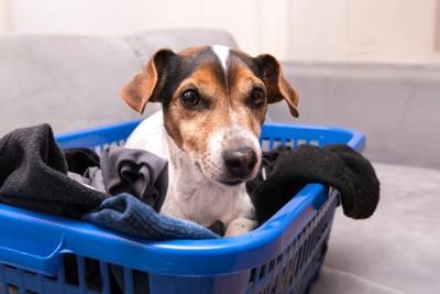洗濯かごの中でくつろぐジャック・ラッセル・テリア