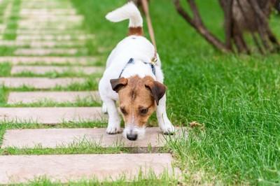 散歩中に地面の匂いを嗅いでいる犬