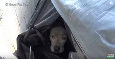 車のカバーに隠れる犬