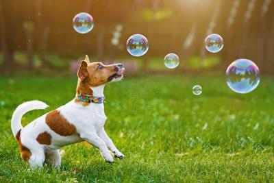 シャボン玉を追いかけて遊ぶ犬