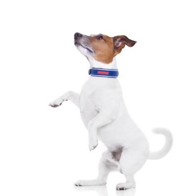 腰を引いて前足を上げる犬