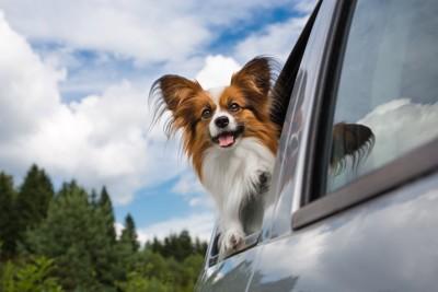 車から身を乗り出すパピヨン