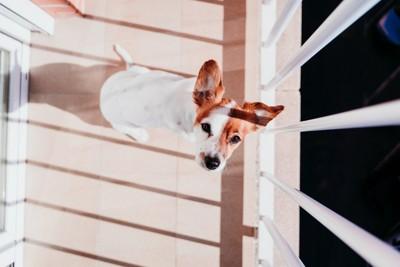ベランダで日向ぼっこする見上げる犬