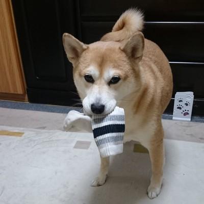 靴下をくわえている柴犬