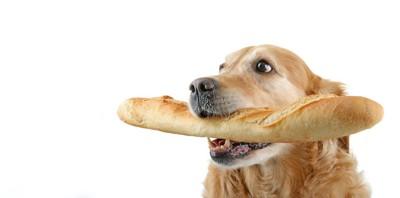 フランスパンを咥えているゴールデンレトリバー