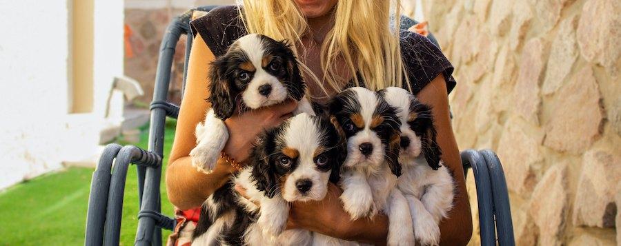 キャバリアの子犬たちを抱く女性