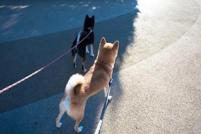 散歩中の2匹の柴犬
