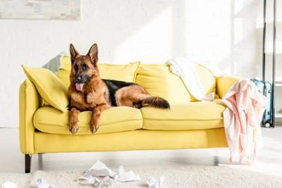 黄色いソファーの上のシェパード