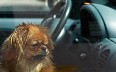 車の中で留守番している犬