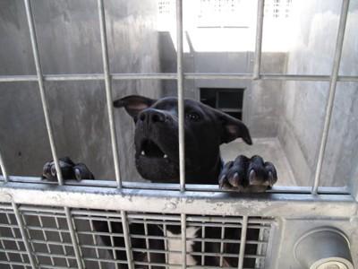 柵に手を乗せる黒い犬