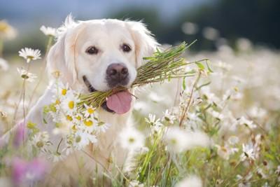お花で遊ぶゴールデン