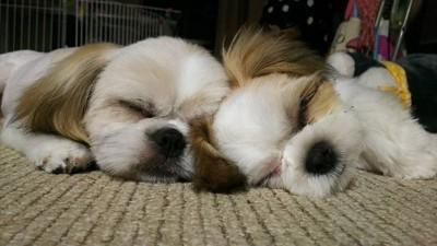眠るシーズー2匹