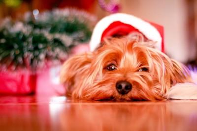 サンタ帽をかぶる犬