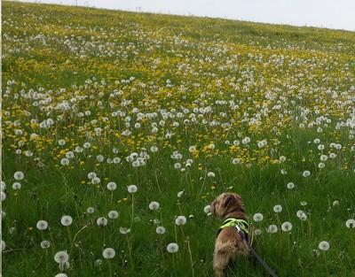 たんぽぽ畑を散歩する犬