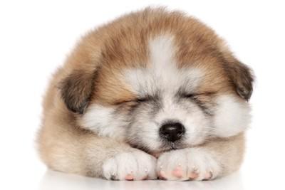 眠る秋田犬の子犬