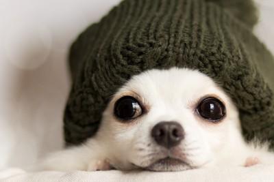ニット帽をかぶった犬