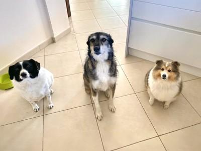 お座りして見つめる3匹の犬