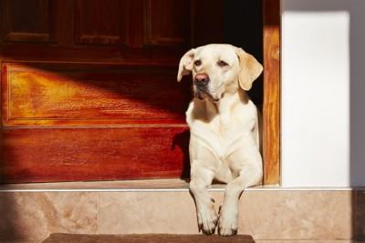 玄関から見張る犬