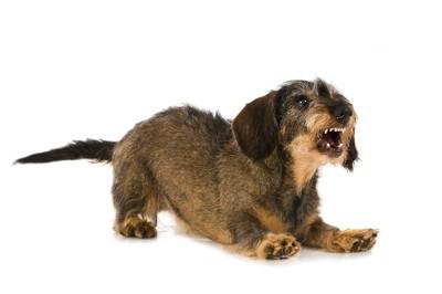 牙を出して威嚇している小型犬