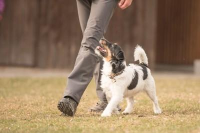飼い主を見上げながらヒールウォークする小型犬