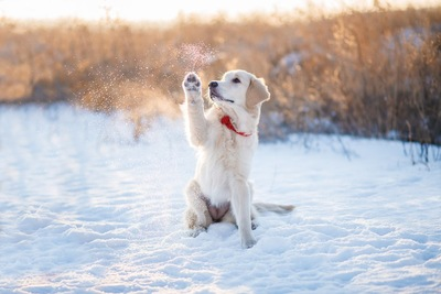 雪の上で前足を上げている子犬