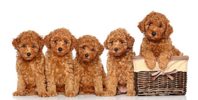たくさんの茶色いミディアムプードルの子犬