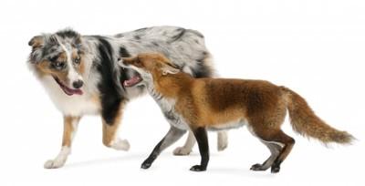 犬とキツネ