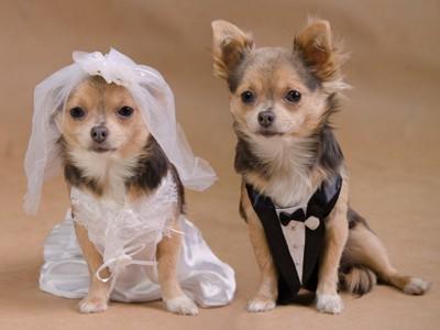 ウエディングドレスとタキシード姿の犬たち