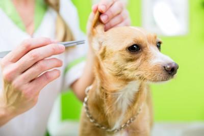 犬の耳とピンセット
