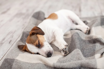 毛布の上で寝ている犬