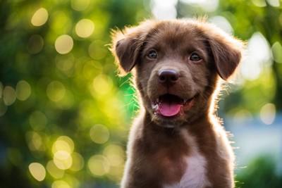 笑顔を見せる茶色の子犬