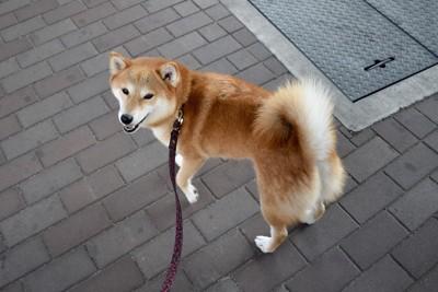 散歩中に振りむく柴犬